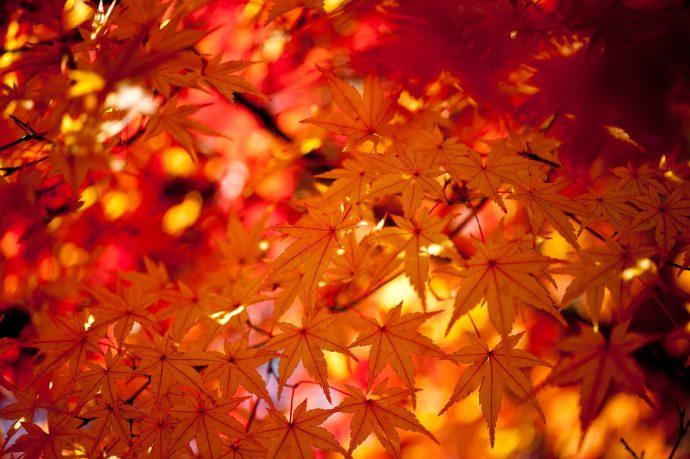 """【 """"木""""になるマメ知識】何が違うの? 紅葉の主役「モミジとカエデ」のもうひとつの楽しみ方"""