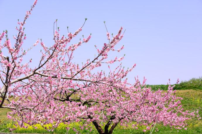 ひな祭りを彩る華やかな「モモ」。いったいどんな木? ウメやサクラとどう違うの?