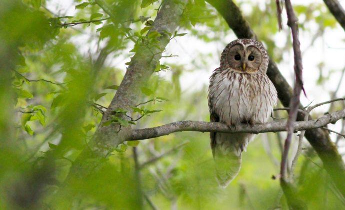 森の賢者 フクロウの棲む森