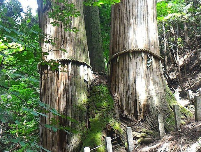 """【""""木""""になるニュース】 日本一高い木が新たに発見! 高さはどのくらい? そして、世界一高い木は?"""