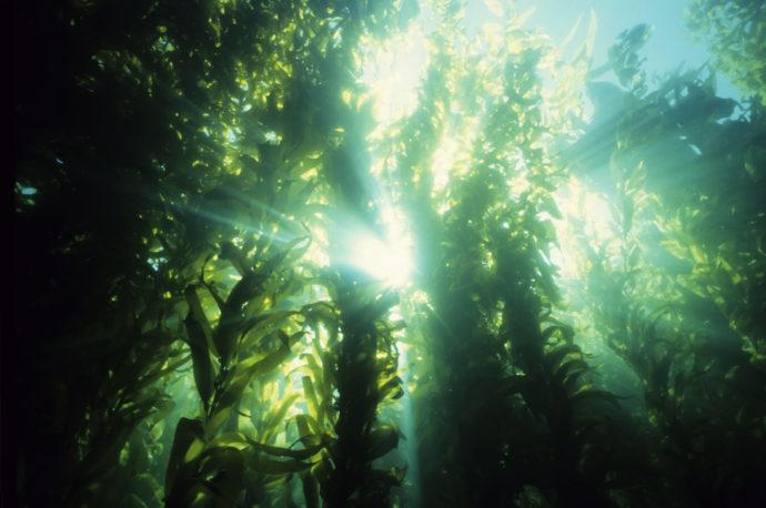 海の中にも森がある? 豊かな海の環境を守る海洋植物の世界